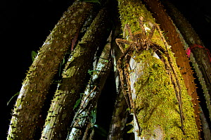 Banana spider (Phoneutria sp.) active at night in the rainforest of Peru. - Emanuele Biggi