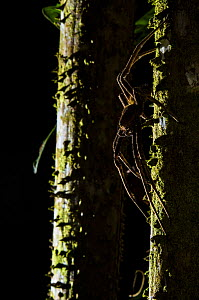 Banana spider (Phoneutria sp.) at night, Peru. - Emanuele Biggi