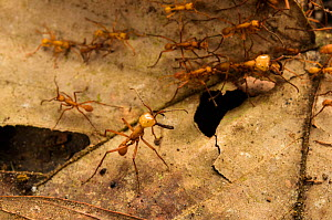 Army ants (Eciton hamatum) soldiers patrolling near the pathway of workers, Los Amigos Biological Station, Peru  -  Emanuele Biggi