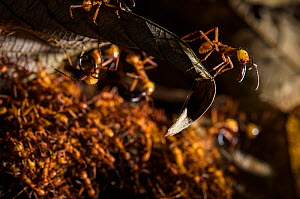 Army ants (Eciton hamatum) soldiers on the foreground patrolling near path of workers. Los Amigos Biological Station, Peru  -  Emanuele Biggi