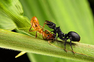 Ant (Cephalotes atratus) on the right, fighting with another unidentified ant, Los Amigos Biological Station, Peru  -  Emanuele Biggi