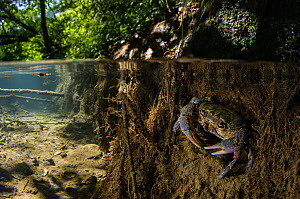 Freshwater crab (Potamon fluviatile), adult male at the entrance of its burrow, Tuscany, Italy, August.  -  Emanuele Biggi