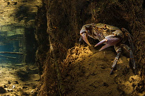 Freshwater crab (Potamon fluviatile) adult female on stream bed at the entrance of her burrow, Italy.  August 2012.  -  Emanuele Biggi