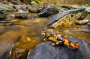Fire salamander (Salamandra salamandra) female   almost ready to give birth to her larvae into the stream, Apennines. Antola Regional Park, Italy - Emanuele Biggi