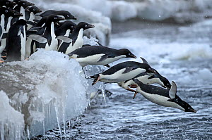 Adelie Penguin (Pygoscelis adeliae) jumping off ice Brown Bluff , Antarctica  -  Andy Rouse