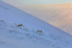 Mountain Hare (Lepus timidus) in blizzard on mountain top, Scotland, UK.   January.  -  Andy Rouse