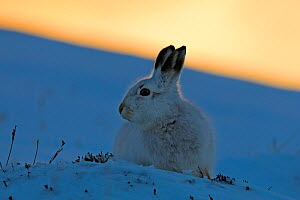 Mountain Hare (Lepus timidus) at sunset, Scotland, UK.   January. - Andy Rouse