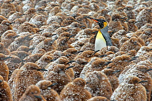 King Penguin (Aptenodytes patagonicus) colony of young chicks in snowstorm Gold Harbour, South Georgia  -  Andy Rouse