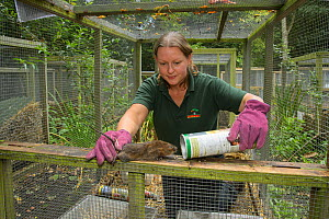 Water vole (Arvicola amphibius) reintroduction at Sevenoaks Wildlife Reserve. Clare Stalford of the Wildwood Trust Conservation Dept  in Wildwood's breeding centre separating young voles from the foun...  -  Terry  Whittaker