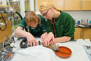 Water vole (Arvicola amphibius) being anaesthetised for health check, prior to release into the wild. Head Vet Nurse Leasa Neame and Vet Nurse Laura Wilson check the vole's heart rate and warm its tai...  -  Terry  Whittaker