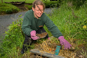 Clare Stalford of the Wildwood Trust Conservation trust releasing Water vole (Arvicola amphibius) into soft release pen, Sevenoaks Wildlife Reserve, Kent, England, UK. June 2015. Model released.  -  Terry  Whittaker