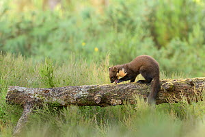 Pine marten (Martes martes) eight week kit with egg, Black Isle, Scotland, UK. June. - Terry  Whittaker
