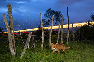 Red fox (Vulpes vulpes) walking on enbankment with light from passing railway train in background, Kent, UK. Composite. - Terry  Whittaker