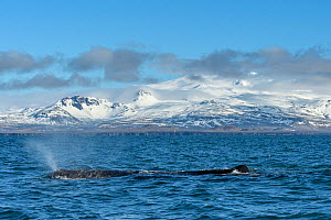 Sperm whale (Physeter macrocephalus) off the Snaefellsnes Peninsula, Iceland. April. - Terry  Whittaker