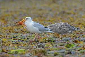 Herring gull (Larus argentatus) with Shore crab (Carcinus maenas ), Chanonry Point, Moray Firth, Highlands, Scotland. June 2017  -  Terry  Whittaker