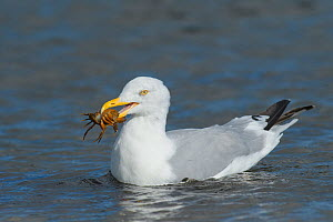 Herring gull (Larus argentatus) with Shore crab (Carcinus maenas ) prey, Chanonry Point, Moray Firth, Highlands, Scotland. September.  -  Terry  Whittaker