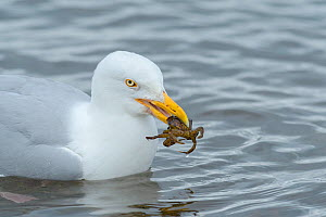Herring gull (Larus argentatus) with shore crab (Carcinus maenas ), Chanonry Point, Moray Firth, Highlands, Scotland. June.  -  Terry  Whittaker