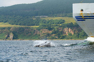Bottlenose dolphin (Tursiops truncatus) porpoising in front of boat,  Moray Firth, Highlands, Scotland. July.  -  Terry  Whittaker