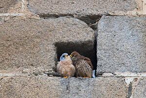Pair of Lesser kestrels (Falco naumanni) female preening male at entrance to nest site, Extremadura, Spain. March.  -  Roger Powell