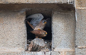 Pair of Lesser Kestrels (Falco naumanni) mating at the entrance to their nest, Extremadura, Spain.  -  Roger Powell