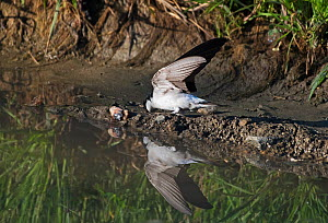 House martin (Delichon urbicum) collecting mud from a pool for nest building.  Alentejo, Portugal, April.  -  Roger Powell