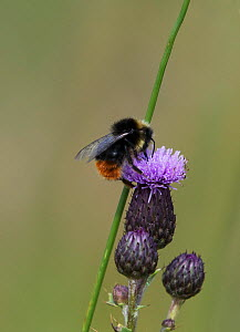 Red-tailed bumblebee (Bombus lapidarius) feeding on nectar from a thistle flower. Druridge Bay, Northumberland, England, UK, July.  -  Roger Powell