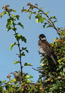 Reed bunting male (Emberiza schoeniclus) perched in a hawthorn tree overlooking its breeding territory. Druridge Bay, Northumberland, England, UK, July.  -  Roger Powell
