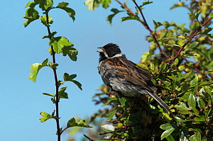 Reed bunting male (Emberiza schoeniclus) singing from a hawthorn tree overlooking its breeding territory. Plumage wet from a recent shower. Druridge Bay, Northumberland, England, UK, July.  -  Roger Powell