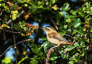 Sedge warbler (Acrocephalus schoenobaenus) perched in a hawthorn bush. Druridge Bay, Northumberland, England, UK, July. - Roger Powell