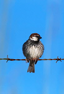 Spanish sparrow (Passer hispaniolensis)  male  perched on a roadside barbed wire fence. Alentejo, Portugal.  -  Roger Powell