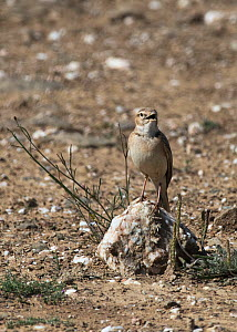 Tawny pipit (Anthus campestris) perched on a small stone, Alentejo, Portugal. April.  -  Roger Powell