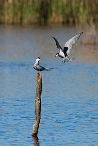 Two Whiskered terns (Chlidonias hybridus) disputing a perch on top of a post in a lake. Le Cherine Nature Reserve, La Brenne, France.  -  Roger Powell