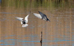 Two Whiskered terns (Chlidonias hybridus) fighting over perch, Le Cherine Nature Reserve, La Brenne, France. April.  -  Roger Powell