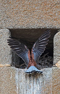 Lesser kestrel (Falco naumanni) male returning to nest site in church wall. Extremadura, Spain.  -  Roger Powell