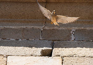 Lesser Kestrel (Falco naumanni) female flying in front of a church wall. Extremadura, Spain.  -  Roger Powell