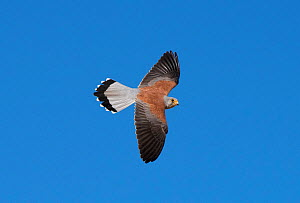 Lesser Kestrel (Falco naumanni) male flying past. Extremadura, Spain. April. - Roger Powell