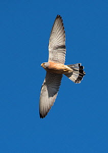 Lesser kestrel (Falco naumanni)  male in courtship flight display, Extremadura, Spain. - Roger Powell
