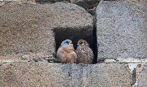 Lesser kestrels (Falco naumanni) pair at nest entrance, Extremadura, Spain. - Roger Powell