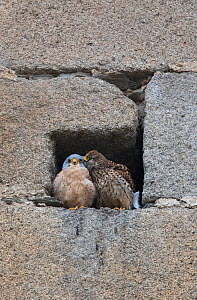 Lesser kestrels (Falco naumanni) pair at nest entrance, female  courtship preening the male birds head. Extremadura, Spain. - Roger Powell