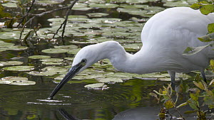 Slow motion clip of a Little egret (Egretta garzetta) hunting for fish, using beak to vibrate the water's surface, Westhay SWT reserve, Somerset Levels, England, UK, December. - John Waters