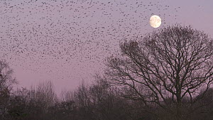 Murmuration of Common starlings (Sturnus vulgaris) flying to roost at sunset, with moon in the background, Shapwick Heath NNR, Somerset Levels, England, UK, December.  -  John Waters