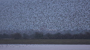Tracking shot of a large mixed flock of Knot (Calidris canutrus), Dunlin (Calidris alpina) and Golden plover (Pluvialis apricaria) in flight at high tide at dusk, with pylons in the background, Steart... - John Waters
