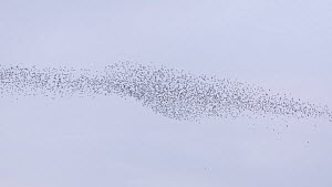Large mixed flock of Knot (Calidris canutrus), Dunlin (Calidris alpina) and Golden plover (Pluvialis apricaria) in flight at high tide, Steart Marshes WWT Reserve, Somerset, England, UK, December. - John Waters