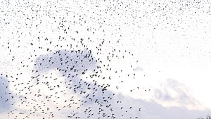 Tracking shot of a flock of Common starlings (Sturnus vulgaris) flying to roost at sunset, Ham Wall RSPB Reserve, Somerset Levels, England, UK, December.  -  John Waters