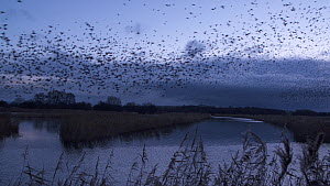 Murmuration of Common starlings (Sturnus vulgaris) flying to roost at sunset, Ham Wall RSPB Reserve, Somerset Levels, England, UK, December.  -  John Waters
