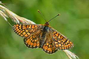 Marsh fritillary butterfly (Euphydryas aurinia) sunning on grass flowers in a chalk grassland meadow, Wiltshire, UK, May. - Nick Upton