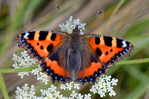 Small tortoiseshell butterfly (Aglais urticae) portrait on Umbel flowers, Wiltshire, UK, August. - Nick Upton