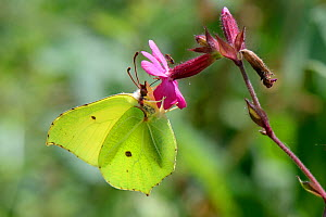 Brimstone butterfly (Gonepteryx rhamni) feeding on a Red campion flower (Silene dioica) in a woodland clearing, Wiltshire, UK, July.  -  Nick Upton