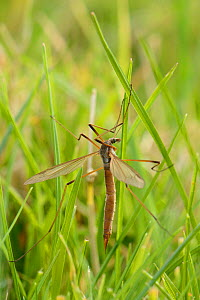 Common European crane fly / Daddy long legs (Tipula paludosa) recently emerged female resting on grass, Wiltshire, UK, September. - Nick Upton