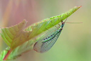 Green lacewing (Chrysopa perla) hiding under a leaf, Wiltshire, UK, June.  -  Nick Upton